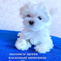 Собаки - Мальтезе.Мальтийская болонка . Щенки ., 0