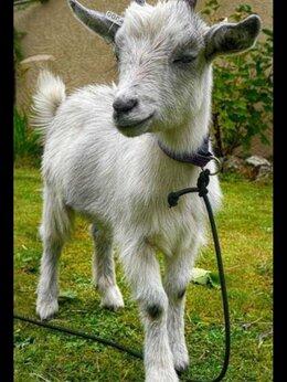 Сельскохозяйственные животные - Козел, 0