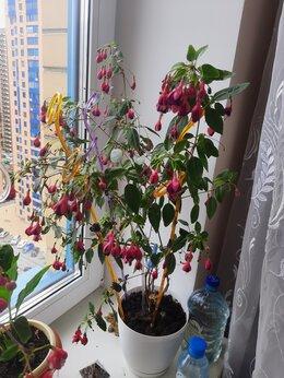 Комнатные растения - Фуксии, 0
