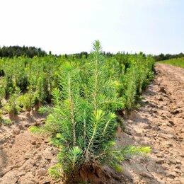 Рассада, саженцы, кустарники, деревья - Ель сосна береза саженец 30-50 см для крупных посадок и лесовосстановления, 0