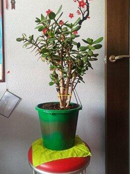 Комнатные растения - Крассула(денежное дерево, толстянка), есть…, 0