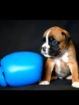Собаки - Перспективные щенки немецкого боксёра, 0