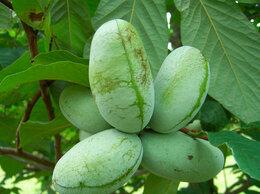 Комнатные растения - Саженцы редких плодово-ягодных культур, 0