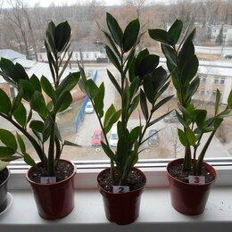 Комнатные растения - Доларовое дерево, 0