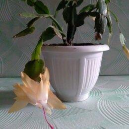 """Комнатные растения - Цветок ,, Декабрист """"., 0"""