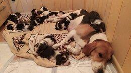 Собаки - Эстонская гончая, 0