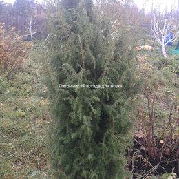 Рассада, саженцы, кустарники, деревья - Можжевельник обыкновенный, саженцы, 0