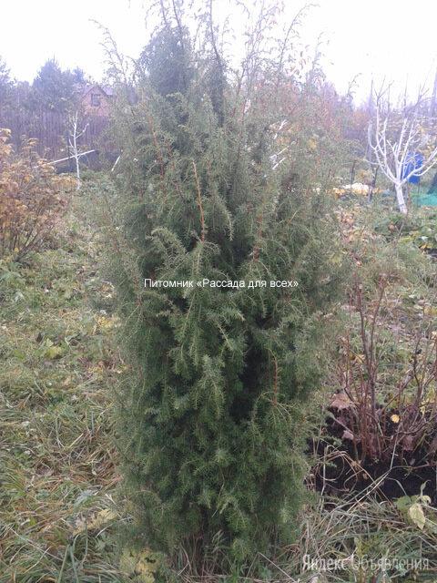 Можжевельник обыкновенный, саженцы по цене 3200₽ - Рассада, саженцы, кустарники, деревья, фото 0