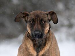 Собаки - Чудесная крупная девочка в поиске дома! 1 год, 0
