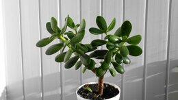 Комнатные растения - Денежное дерево (саженцы), 0