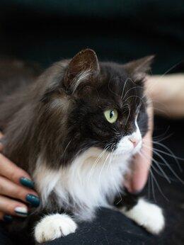 Кошки - Роскошная Буковица ждёт любящую семью, 0