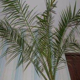 Комнатные растения - Финиковая пальма (ростки), 0