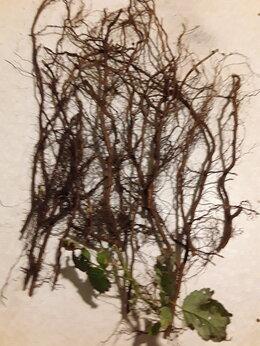 Рассада, саженцы, кустарники, деревья - Маточный корень малины, 0