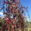 Декоративная яблоня по цене 2500₽ - Рассада, саженцы, кустарники, деревья, фото 0