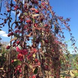 Рассада, саженцы, кустарники, деревья - Декоративная яблоня, 0