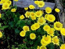 Рассада, саженцы, кустарники, деревья - Ромашка солнечная,Многолетние цветы, 0