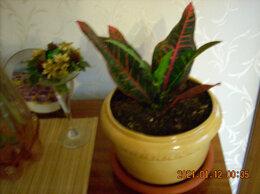 Комнатные растения - Кротон- для вашего дома., 0