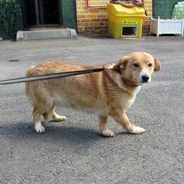 Собаки - Рыжая красавица в добрые руки, 0