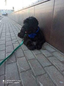 Собаки - Русский Черный Терьер , 0