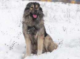Собаки - Молодой кавказец в добрые руки, 0