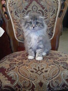 Кошки - Продаю котят шотландской вислоухой, 0