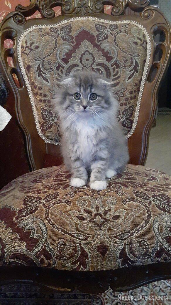 Продаю котят шотландской вислоухой по цене 5000₽ - Кошки, фото 0