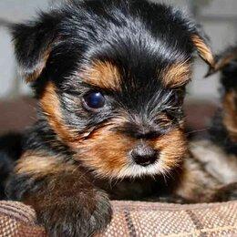 Собаки - Малыш йорк, 0