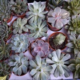 Комнатные растения - Эхеверия, 0