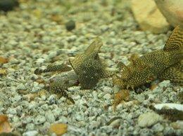 Аквариумные рыбки - Сомики анциструсы, моллинезии, 0