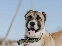 Собаки - Молодая красавица алабай Сабира в дар, 0
