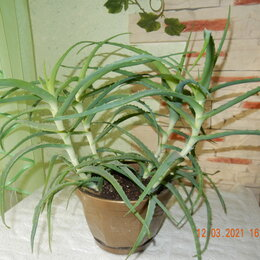 Комнатные растения - Алоэ (Столетник), 0
