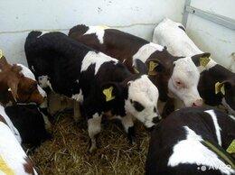 Сельскохозяйственные животные - бычки телята, 0
