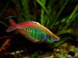 Аквариумные рыбки - Хилатерина радужница Фасциата Деревня Пагай, 0