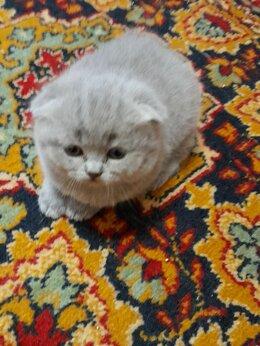 Кошки - Продаю шотланских котят. Мальчики и девочки.…, 0