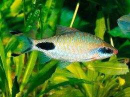 Аквариумные рыбки - Барбус Филаментозус, 0