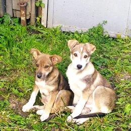 Животные - Щенки 2,5 месяца, мальчик и девочка, 0