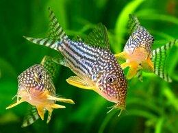 Аквариумные рыбки - Коридорас Штерба (Corydoras sterbai) мирный сомик, 0