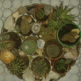 Комнатные растения - Кактусы в керамическом кашпо ., 0