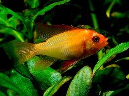 Аквариумные рыбки - Апистограмма Рамирези золотая, 0