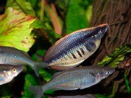 Аквариумные рыбки - Хилатерина радужница Фасциата Озеро Сентани, 0