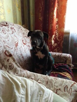 Собаки - Отдам щенят стаффордширского Пит буль терьера в…, 0