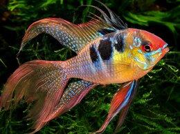 Аквариумные рыбки - Апистограмма Рамирези вуалевая, 0