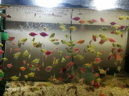 Аквариумные рыбки - Аквариумные рыбки собственного разведения , 0