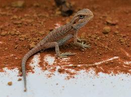 Рептилии - Бородатая агама нормал дети (дата вылупа:…, 0