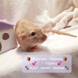 Грызуны - Крыса, 0