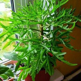 Комнатные растения - Каланхоэ лациниата, 0
