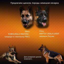 Собаки - Щенки немецкой овчарки с документами, 0