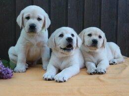 Собаки - Щенки Лабрадора Породистые, 0