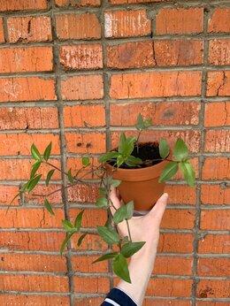 Комнатные растения - Традесканция приречная в глиняном горшке, 0