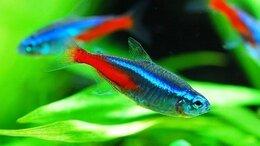 Аквариумные рыбки - ГОЛУБЫЕ НЕОНЫ - ЗАМОРОЖЕННЫЕ И СУХИЕ КОРМА, 0